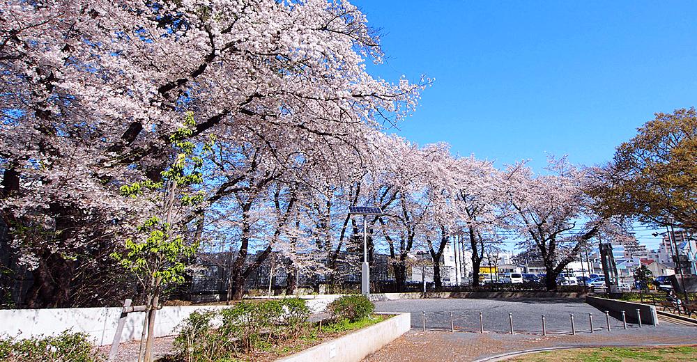 立川の桜特集